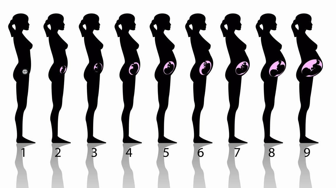 Terhesség szakaszai